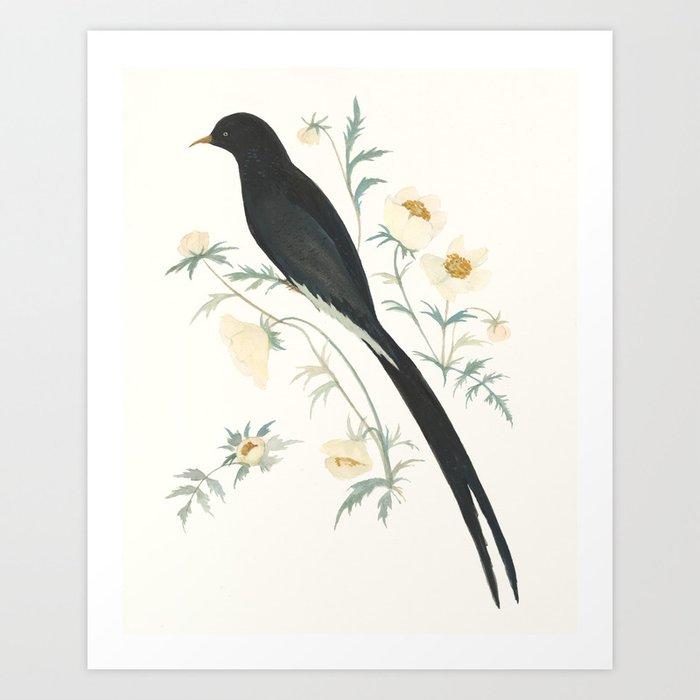 Black Winged Bird of Paradise Kunstdrucke