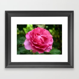 Queen Elizabeth Rose Framed Art Print