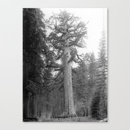 """""""Grizzley Giant"""", a Big Tree in Mariposa Grove in Yosemite National Park, California, ca.1902 Canvas Print"""