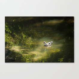 Duck in the Spotlight Canvas Print