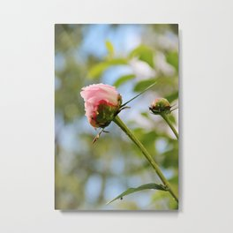 Pink peony buds Metal Print
