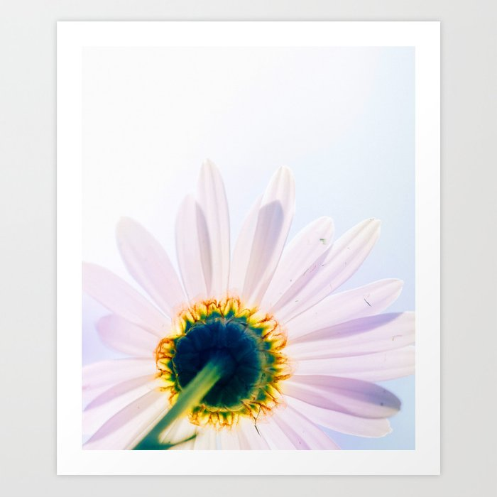 Blooming Daisy Art Print