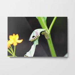 Monarch Caterpillar 1 Metal Print