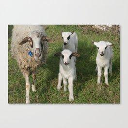 Ewe and Three Lambs Making Eye Contact Canvas Print