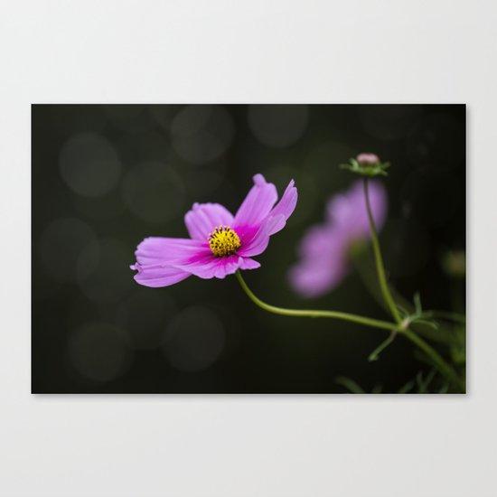 pink Cosmea summer flower Canvas Print