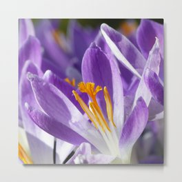 Violet spring crocus Metal Print