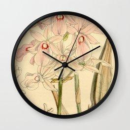 Calanthe rosea (as Limatodis rosea, spelled Limatodes rosea) Curtis' 88 (Ser. 3 no. 18) pl. 5312 ( Wall Clock