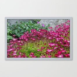 SAXIFRAGE IN BLOOM Canvas Print