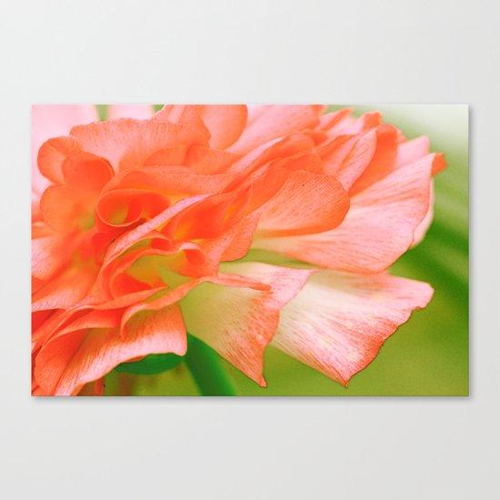 Vintage Ranunculus (6) Canvas Print
