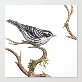 Black-and-White Warbler (Mniotilta varia) Canvas Print