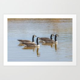 Canadian geese in the lake autumn (Branta canadensis) Art Print