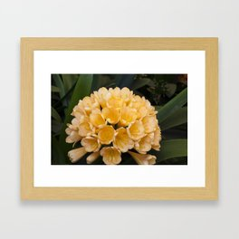 Clivia Apricot Framed Art Print