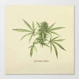 Vintage botanical print - Cannabis Canvas Print