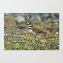 Killdeer Shorebird Canvas Print