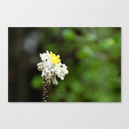 Oriental Paperbush Flower Canvas Print