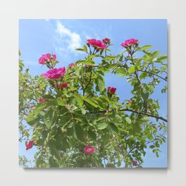 summer wild rose VII Metal Print