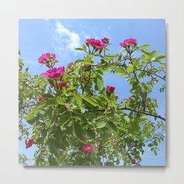summer wild rose VII Metal Print