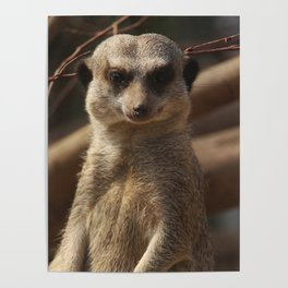 Meercat Donegal Poster