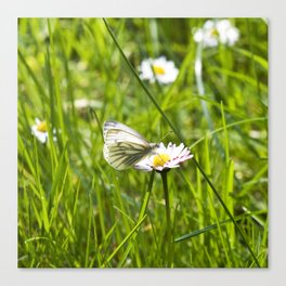 WHITE BUTTERFLY on COMMON DAISY Canvas Print