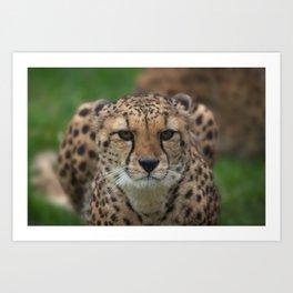 Cheetah Stare Art Print