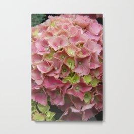 Pink Garden Hydrangea Metal Print