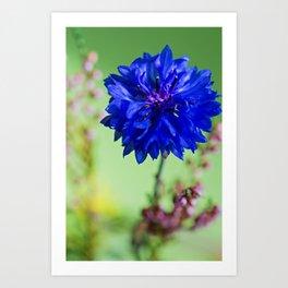 Beauty of blue cornflower Art Print