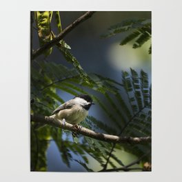 Roosting Black Capped Chickadee Poster