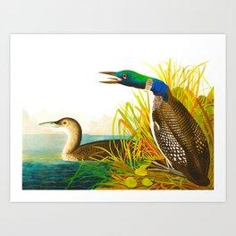 Great Norther Diver or Loon John James Audubon Scientific Birds Of America Illustration Art Print