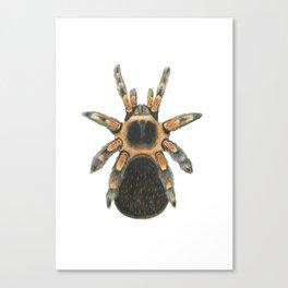 Mexican Red Knee Tarantula Canvas Print