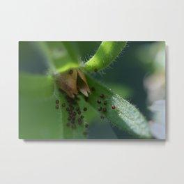 Burst Petunia Seedpod (Photography: In the Garden) Metal Print