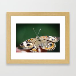 Common Buckeye Junonia Coenia Framed Art Print