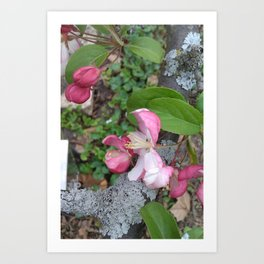 Spring Apple Blossoms Art Print