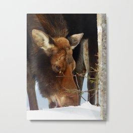 Moose Eating Snow Metal Print