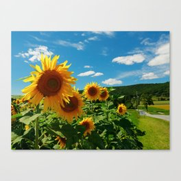Sunflowers In Sunflower Field Canvas Print
