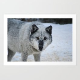 Lone wolf roams the Canadian Rockies Art Print