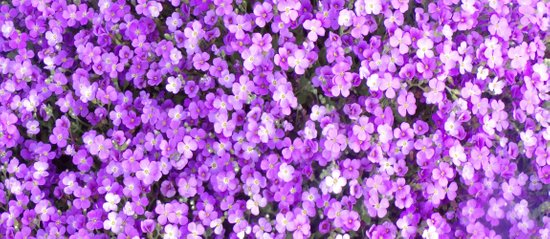 Pretty Purple Flowers Purple Ground Cover Beautiful Flowers Coffee