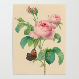 Selection of the most beautiful flowers Pink Rose - Pierre-Joseph Redouté - 1827 Poster