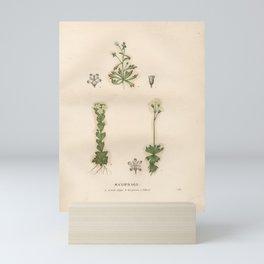 Flower Saxifraga exarata Saxifraga tridactylites3 Mini Art Print