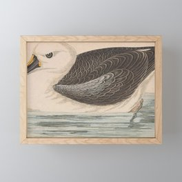 Vintage Print - A History of the Birds of Europe (1859) - Yellow-Nosed Albatross Framed Mini Art Print