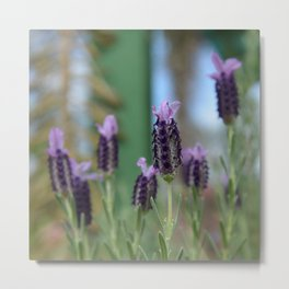 Lavender 3..... Metal Print