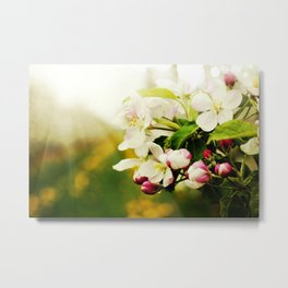 Blossom apples garden in the Spring Metal Print