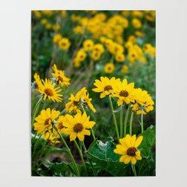 No. 5 Okanagan Sunflowers at Dawn Poster