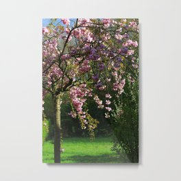 Young Cherry Tree Sakura Blossoming In Spring Metal Print