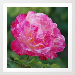 Pink Rose in Full Bloom Art Print
