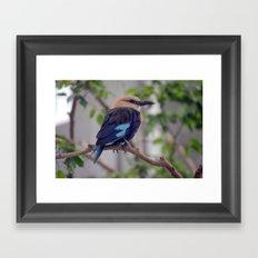 National Aviary - Pittsburgh - Blue Bellied Roller Framed Art Print