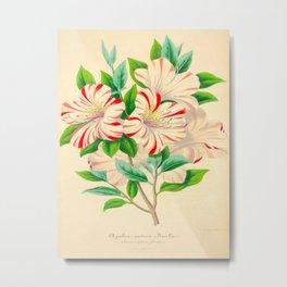 Vintage Botanical Floral Flower Scientific Illustration Pink Striped Azalea Flower Metal Print