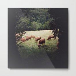 Camino Cows Metal Print