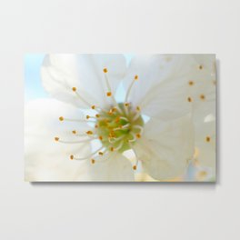White Cherry Macro Photography Metal Print