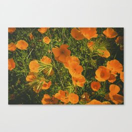 California Poppies 005 Canvas Print