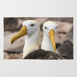 Waved Albatross birds in the Galapagos Rug